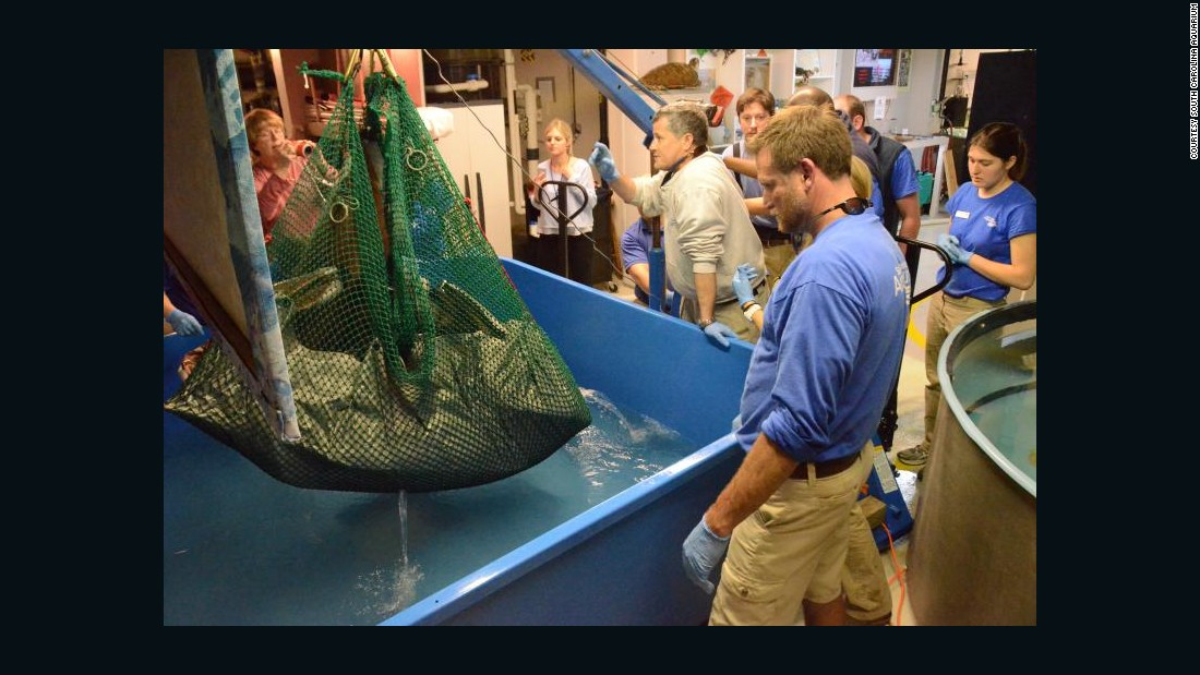 Aquarium staffers use a winch to lower the 475-pound turtle into a tank.
