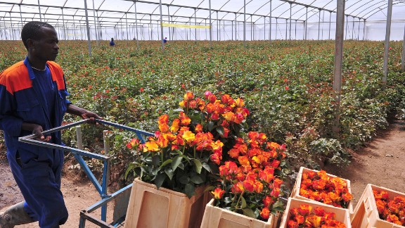 A worker at the Maridaidi Farm in Naivasha carries roses for export to Europe ahead of this year's Valentine's Day.