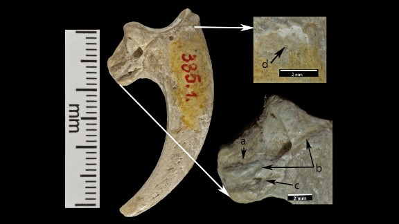 Three cut marks (noted by A, B and C) are preserved on the lateral surface of this talon. An eroded area (noted by D) can be seen near the proximal edge of the joint. Kansas University