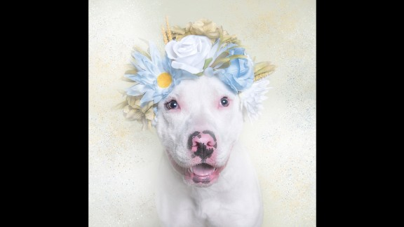 """Photos of Rey and other shelter dogs are intended to entice prospective owners to adopt. """"Pit bulls are often powerful dogs who are very loyal. Like any other breed, they need proper care, training and socialization,"""" Gamand says on her website. """"Pit bulls have become the disposable dogs of America."""""""