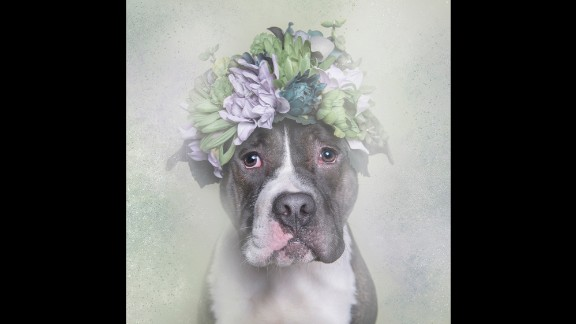 """Meet Big Papa, one of the canine stars of photographer Sophie Gamand's series """"Flower Power: Pit Bulls of the Revolution."""" Gamand partnered with animal shelters for the series an in effort to """"challenge the way we look at pit bulls."""""""