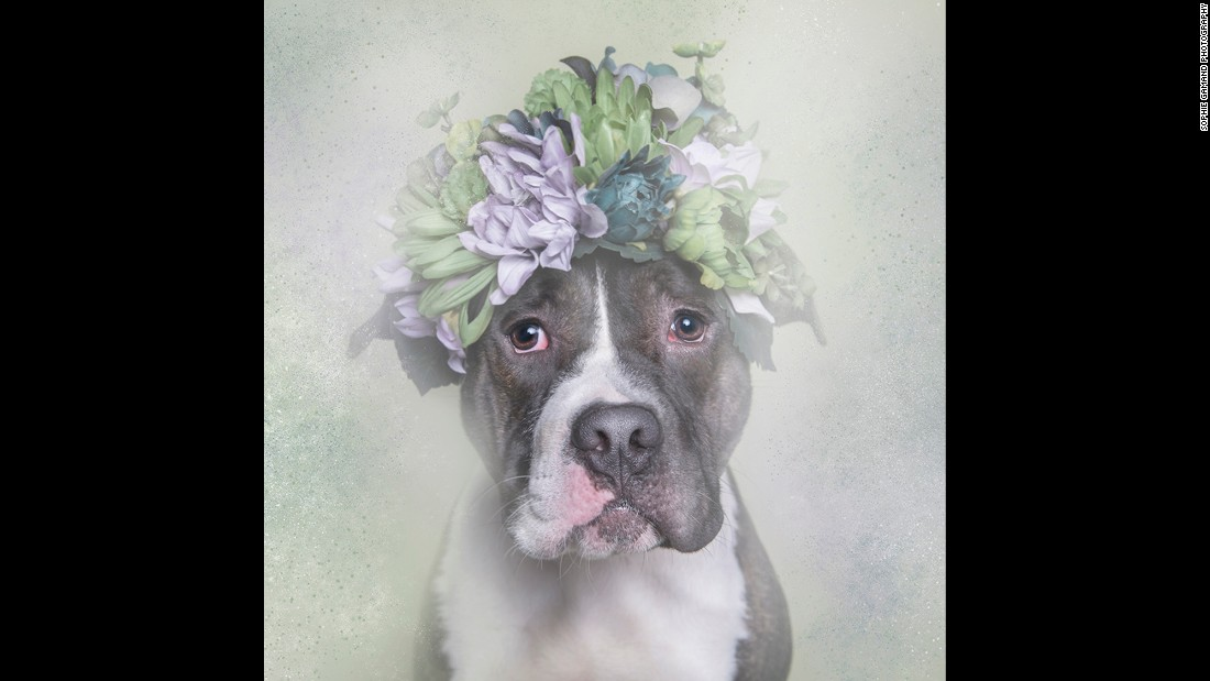 "Meet Big Papa, one of the canine stars of photographer Sophie Gamand's series ""Flower Power: Pit Bulls of the Revolution."" Gamand partnered with animal shelters for the series an in effort to ""challenge the way we look at pit bulls."""