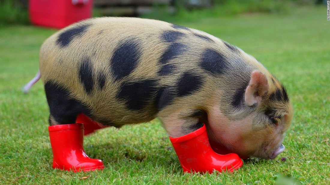 Yes now theres a micro pig cafe cnn travel voltagebd Choice Image