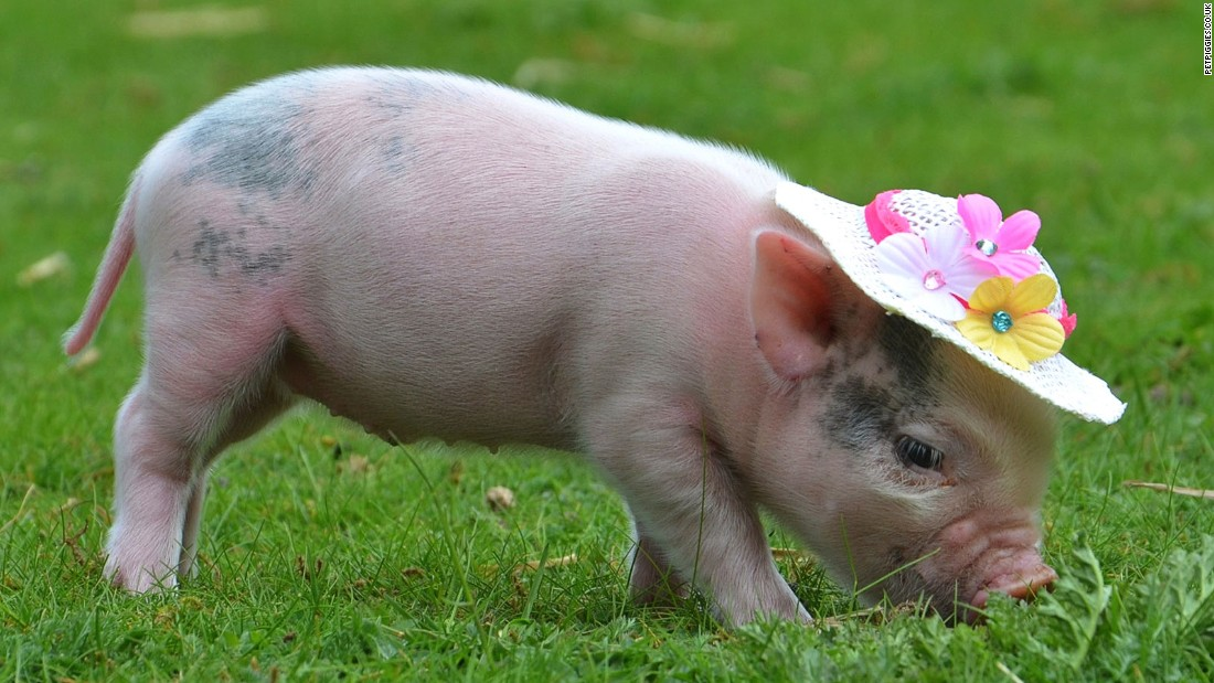 yes now there s a micro pig cafe cnn travel