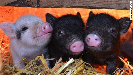 The micro pig cafe in London