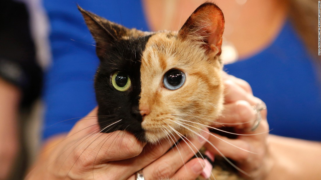 "<a href=""http://www.newrepublic.com/article/118725/venus-chimera-cat-explained-geneticist"" target=""_blank"">Venus</a>, a cat with unusual genetic traits, appeared on NBC News' ""Today"" show. Her face is half black, half orange. Her eyes: one blue and one green."