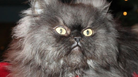 Colonel Meow at the Internet Cat Super Group holiday event at Capitol Records Tower in 2013 in Los Angeles. A Himalayan-Persian crossbreed, he held the Guinness World Record for cat with the longest fur.