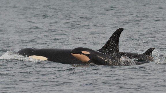 A mother and a baby killer whale pictured off Puget Sound in Washington State in 2015.