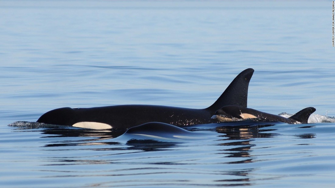 "Efforts to increase the numbers of orcas have included beefing up salmon in the area. ""We hope this is a sustained upswing in the population, but they are endangered and will remain endangered until we can get their population up over 100,"" says Ken Balcomb with The Center for Whale Research."