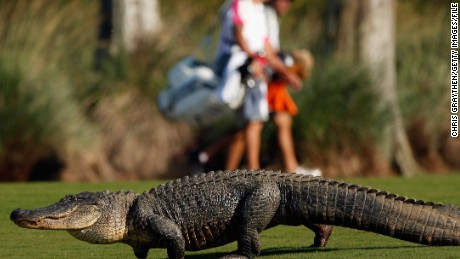 In some parts of the U.S., divers have the added danger of alligators, such as this one at the Zurich Classic of New Orleans.