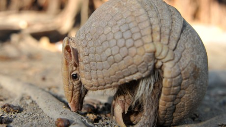 Armadillos cause spike in leprosy cases in Florida