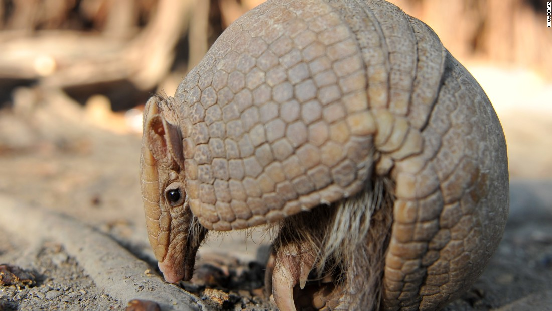 "Researchers said that armadillos were among the first animals to reappear after a quake. ""It was almost as if they were coming out of hiding,"" said team leader Dr Rachel Grant."