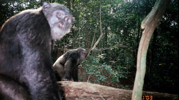 The lion was spotted on footage collected through a chimpanzee study in Bateke Plateau National Park led by the Max Planck Institute for Evolutionary Anthropology's Pan African Programme: The Cultured Chimpanzee and The Aspinall Foundation