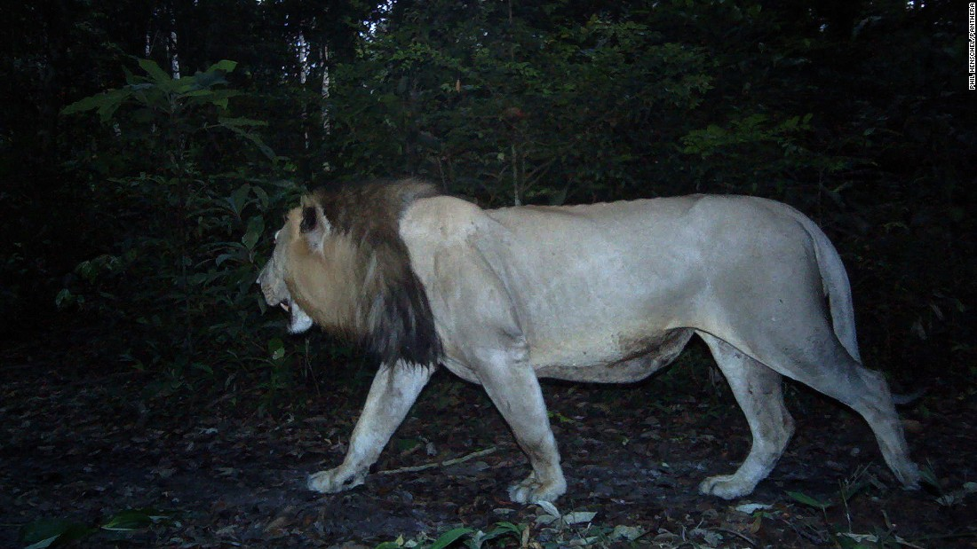 The first lion in 20 years has been spotted in the West African nation of Gabon. The species had previously been declared 'locally extinct.' Scientists say it is likely he is in search of a mate.
