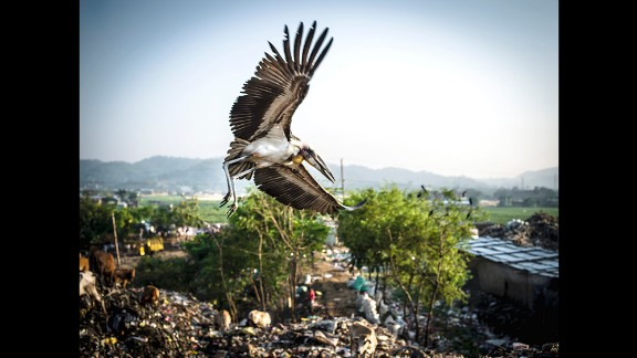 A greater adjutant stork flies over the Boragaon landfill in Guwahati, India. The endangered bird attracted photographer Timothy Bouldry to the area.