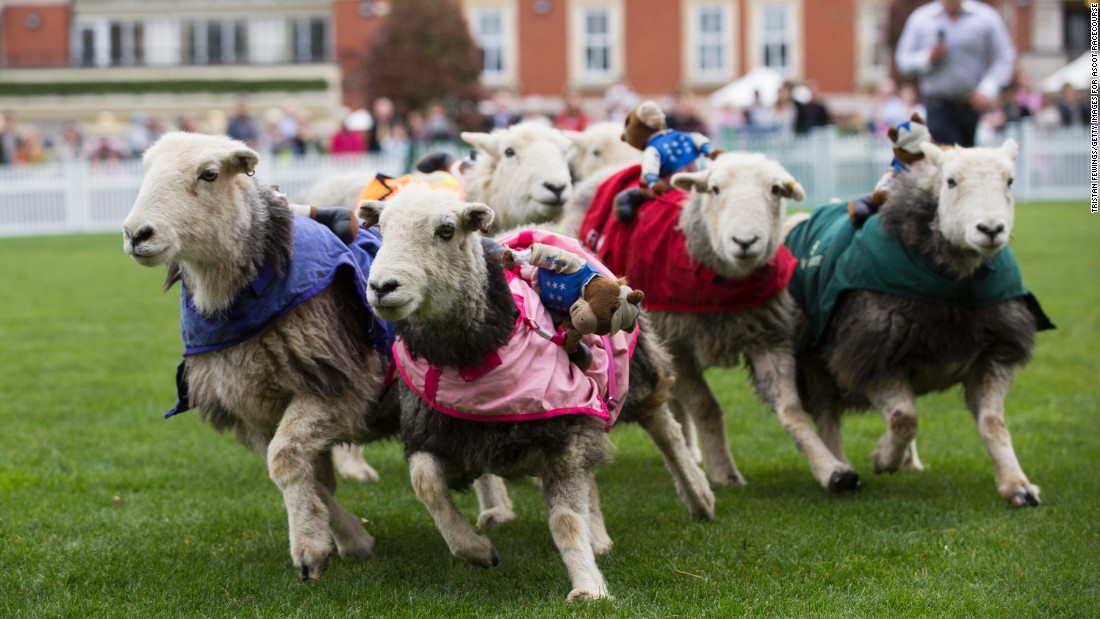 Sheep racing might be a bit of fun but it is unlikely to topple horse racing as the sport of kings.