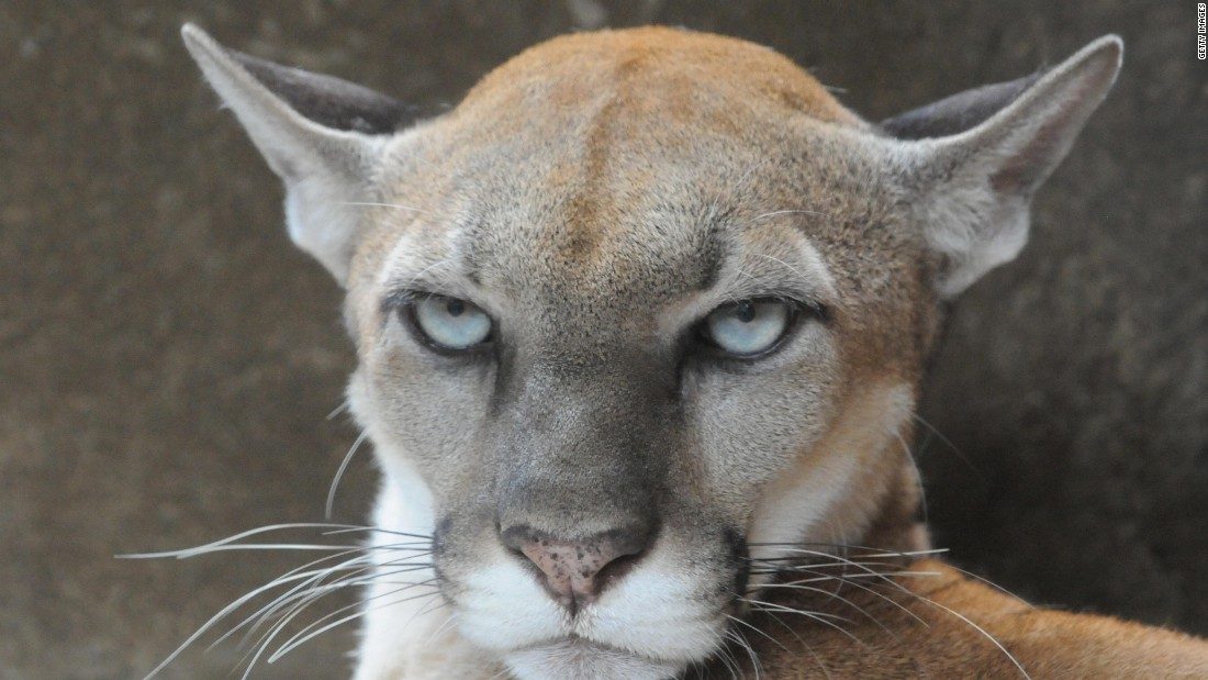 A mountain lion (puma concolor), one of the species of wild animals observed during the study.
