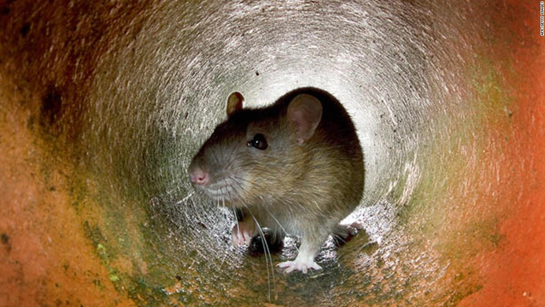 "Rats have long been thought to have a ""sixth sense"" that can warn them about upcoming earthquakes."