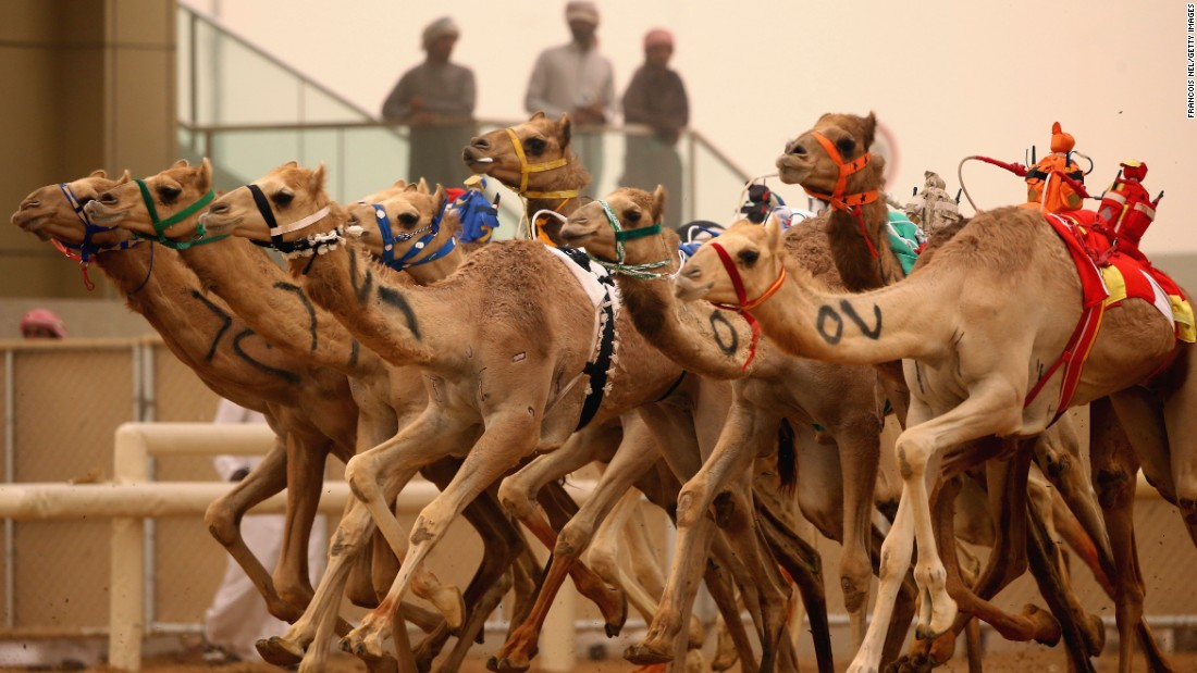 "Robotic jockeys ride camels during a race in Dubai, United Arab Emirates, on Thursday, April 2. Camels in the region used to be raced by children, <a href=""http://www.nytimes.com/2014/12/28/sports/camel-racing-in-the-united-arab-emirates-is-a-blend-of-centuries-old-traditions-and-modern-technology.html?_r=0"" target=""_blank"">but that changed to robots over the years. </a>"