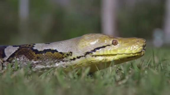 wonder list everglades python_00001702.jpg