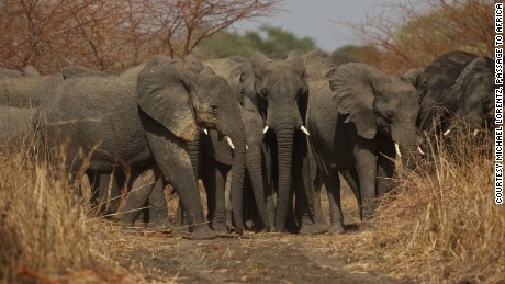 222e211e88bc DNA tests on elephant tusks expose  three major export cartels operating in  Africa