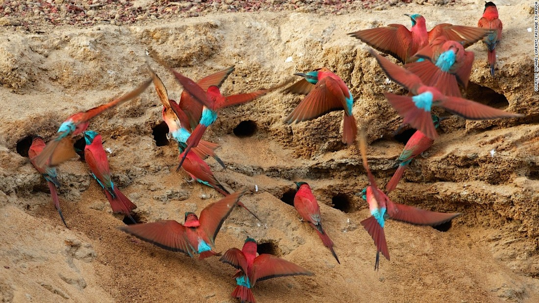 But Zakouma isn't just for elephants -- the park is also home to a variety of bird species, including the the carmine bee-eater.