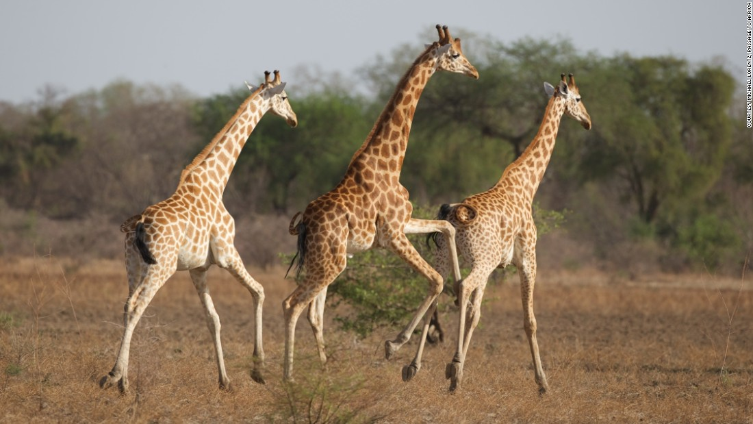 About half of Africa's population of Kordofan giraffes also live in the park.