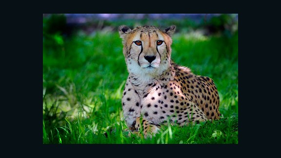 The cheetah, with its distinctive black spots, is considered the world's fastest land mammal with speeds up to 68 mph.