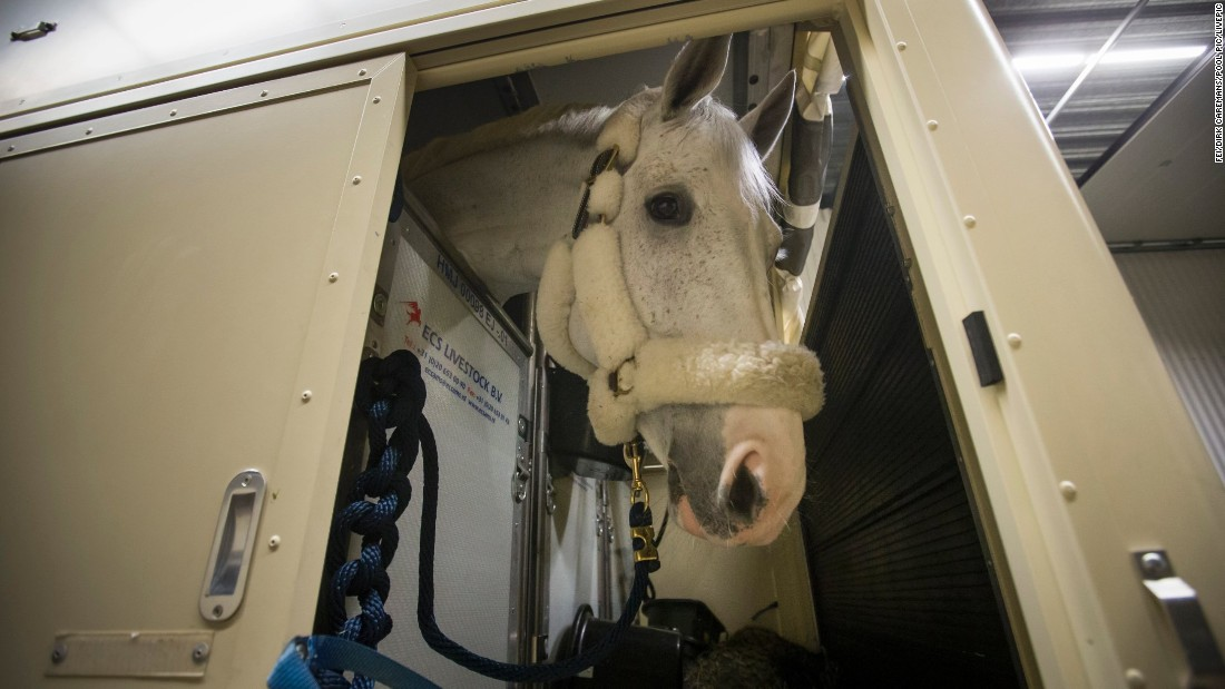Forty or so horses assembled at Amsterdam's Schiphol airport, cared for by 10 assistants, known as grooms. Grey gelding Cornet D'Amour, who won last year's Longines World Cup jumping final with Germany's Daniel Deusser, prepares to board.
