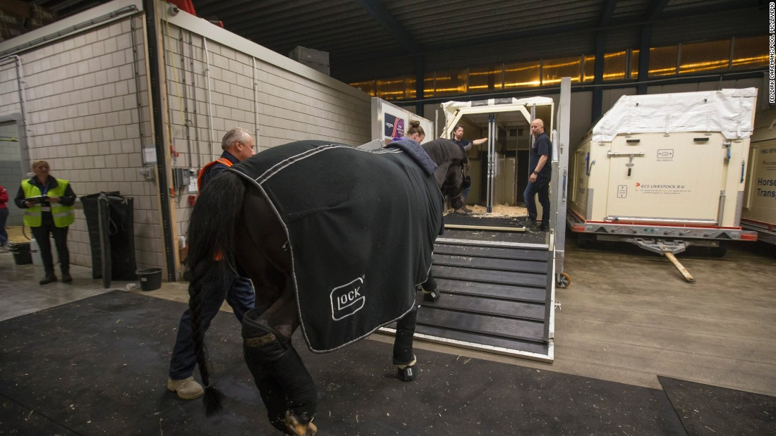 Dutch dressage rider Edward Gal's gelding, Glock's Undercover, is introduced to a stall ready for the flight. The full loading process takes around three-and-a-half hours.