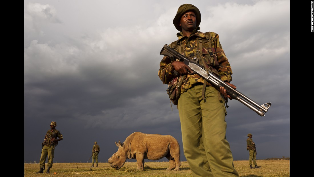 In Kenya, where the three remaining northern white rhinos live, armed guards prevent poaching.
