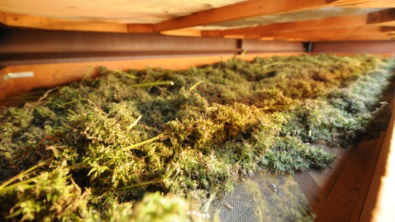 The marijuana at the lab is dried on screens, which allows airflow from all directions.