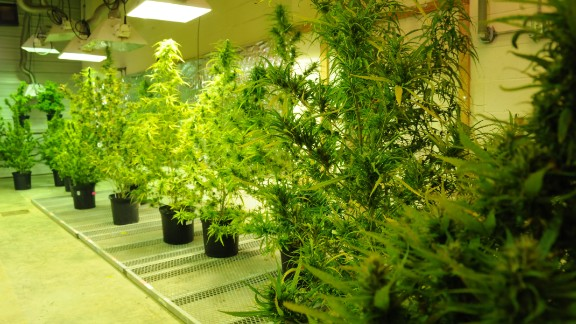 The marijuana plants at Ole Miss start off in this extremely controlled and monitored grow room before they are planted in the fields outside. The plants require water, light and temperatures between 75 and 86 degrees Fahrenheit (24 and 30 degrees Celsius).
