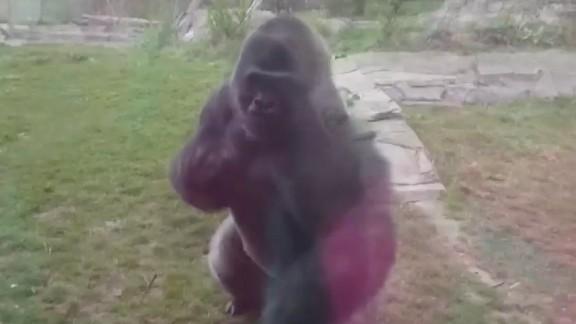 dnt ne zoo gorilla breaks glass _00000724.jpg