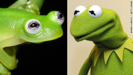 Newly discovered frog looks like Kermit