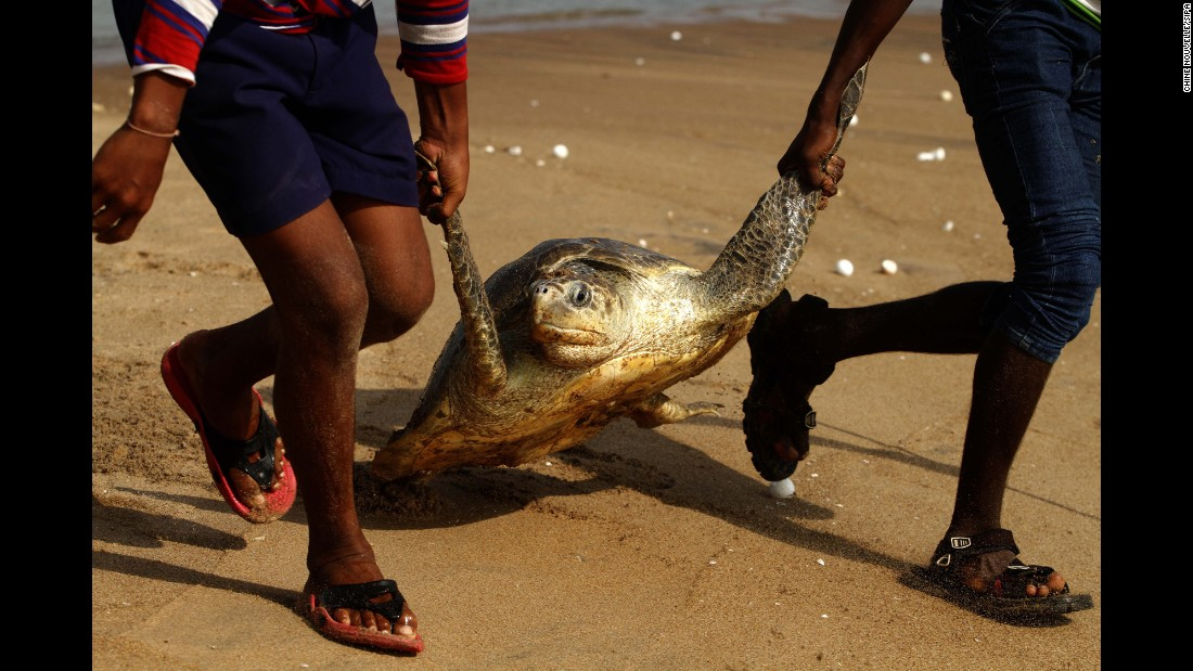 Locals in India's Ganjam district help an olive ridley sea turtle return to the Rushikulya river on Monday, April 20.
