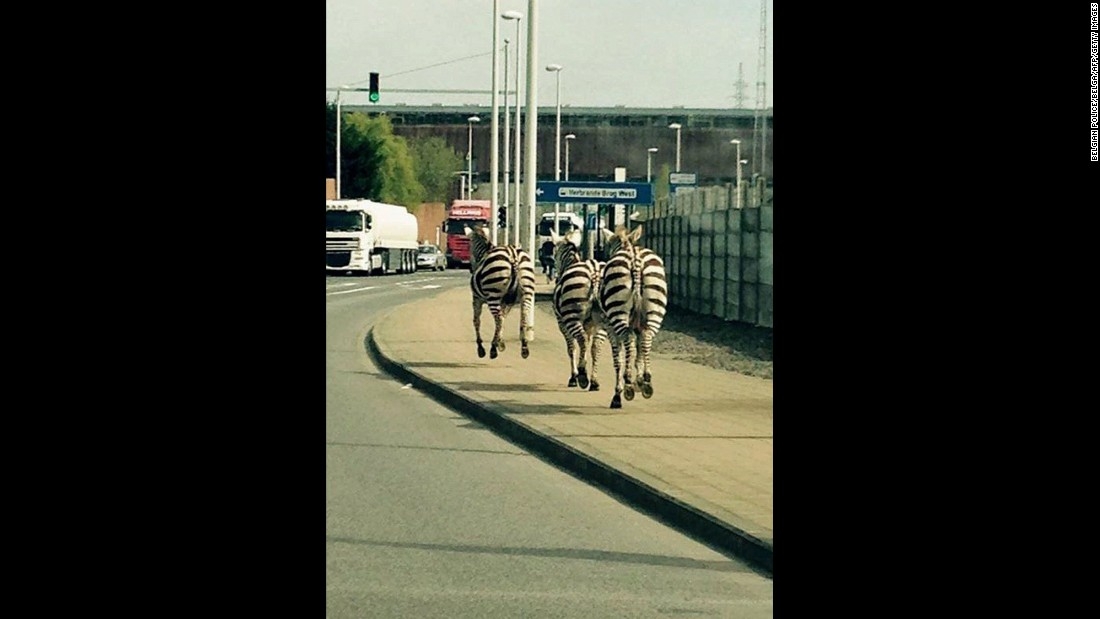 "Three zebras run beside a road in Brussels, Belgium, after escaping from a ranch on Friday, April 17. <a href=""http://www.cnn.com/2015/04/17/world/gallery/week-in-photos-0416/index.html"" target=""_blank"">See last week in 40 photos</a>"
