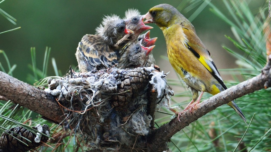 A goldfinch feeds its newly hatched chicks in Chungju, South Korea, on Tuesday, April 21.