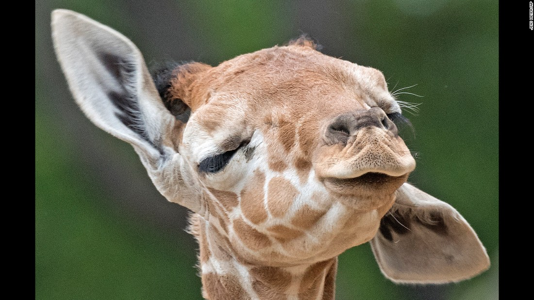 A baby giraffe wiggles her ears at the zoo in Erfurt, Germany, on Monday, April 27. The baby was born on March 25.
