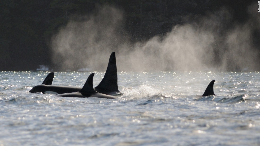 Part of the Pacific Northwest's killer whale L-pod group, with tall-finned 36-year-old male L-41 and 42-year-old L-22 at his left side, and two other pod-members, in Haro Strait, Washington.