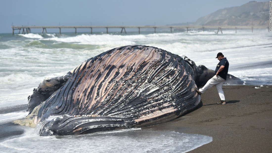A man touches a beached humpback whale in Pacifica, California, on Tuesday, May 5. It was the second dead whale to wash ashore in recent weeks.