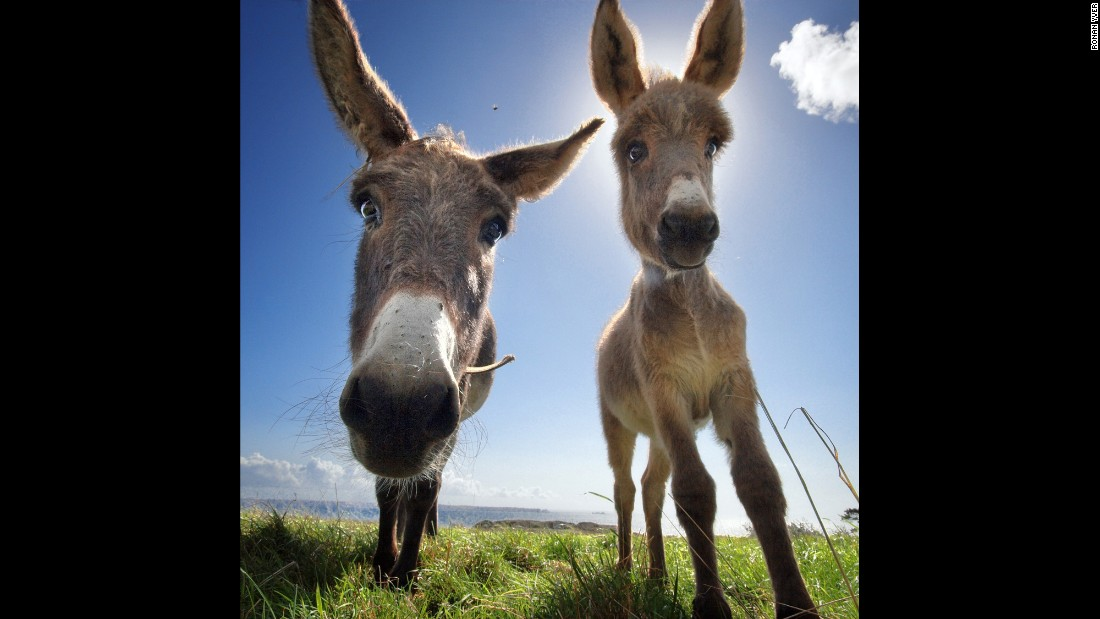 "A ""curious colt and donkey"" on the seashore in Brest. Yver spent several years with farm animals, getting to know their personalities. Seeing the humanity in their eyes, he began to create a catalog of common feelings and moods and character traits."