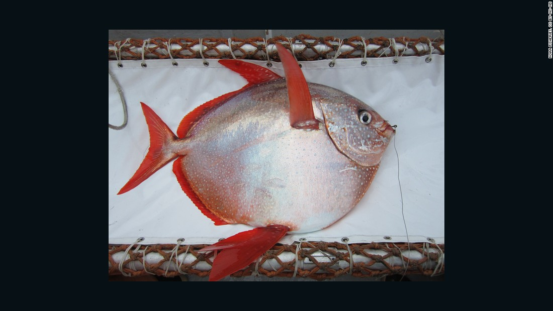 Until now, it was thought that fish couldn't keep warm independently like mammals such as seals or whales. The opah, or moonfish, is the first fish that has been found to have a warm heart and maintain a high body temperature, according to a new report.