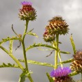 cardoon STOCK