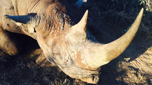 The rhino hunted by Corey Knowlton.