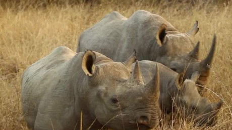 Controversy over endangered black rhino hunt
