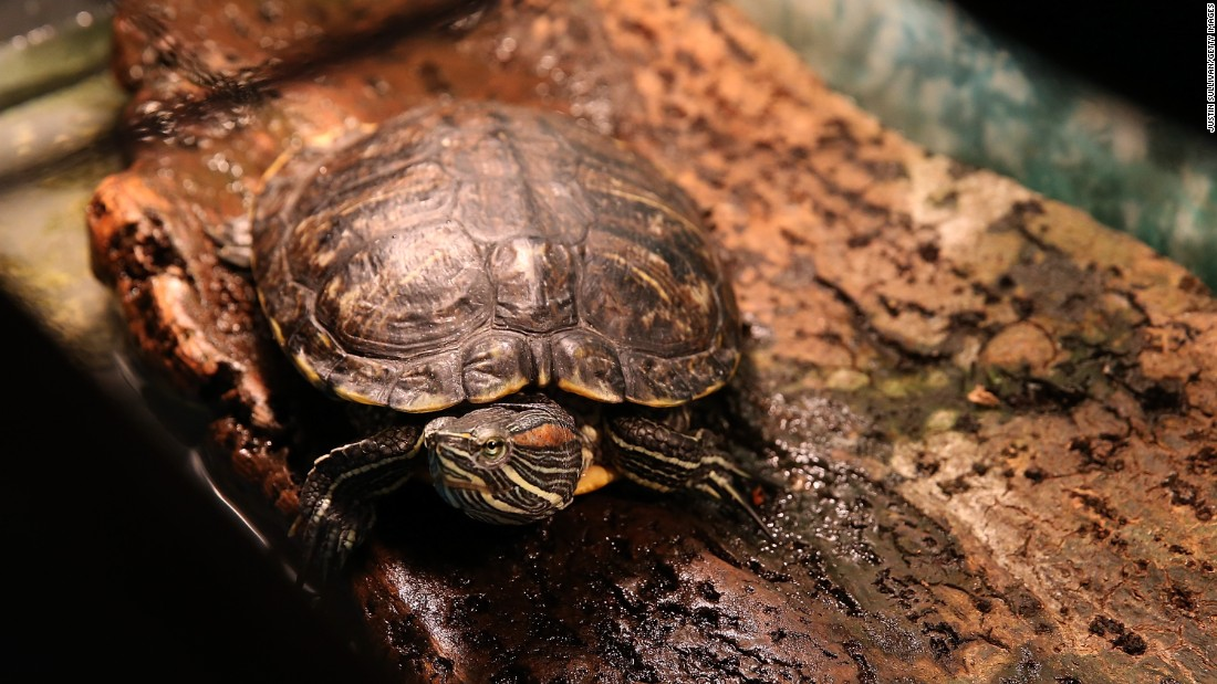 About 70,000 people get salmonella infections, typically including fever and diarrhea, from reptiles every year in the US. The bacteria can live on reptiles, like turtles, without making them sick.