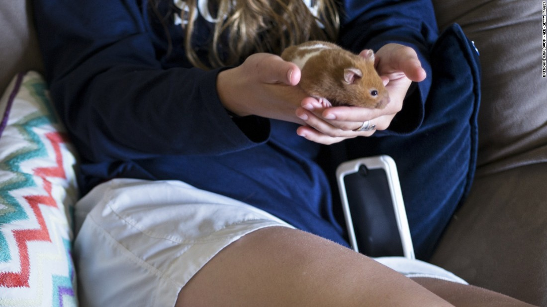 "Hamsters and other ""pocket pets"" can carry lymphocytic choriomeningitis virus  (LCMV). The virus typically causes flu-like symptoms, including fever and muscle aches."