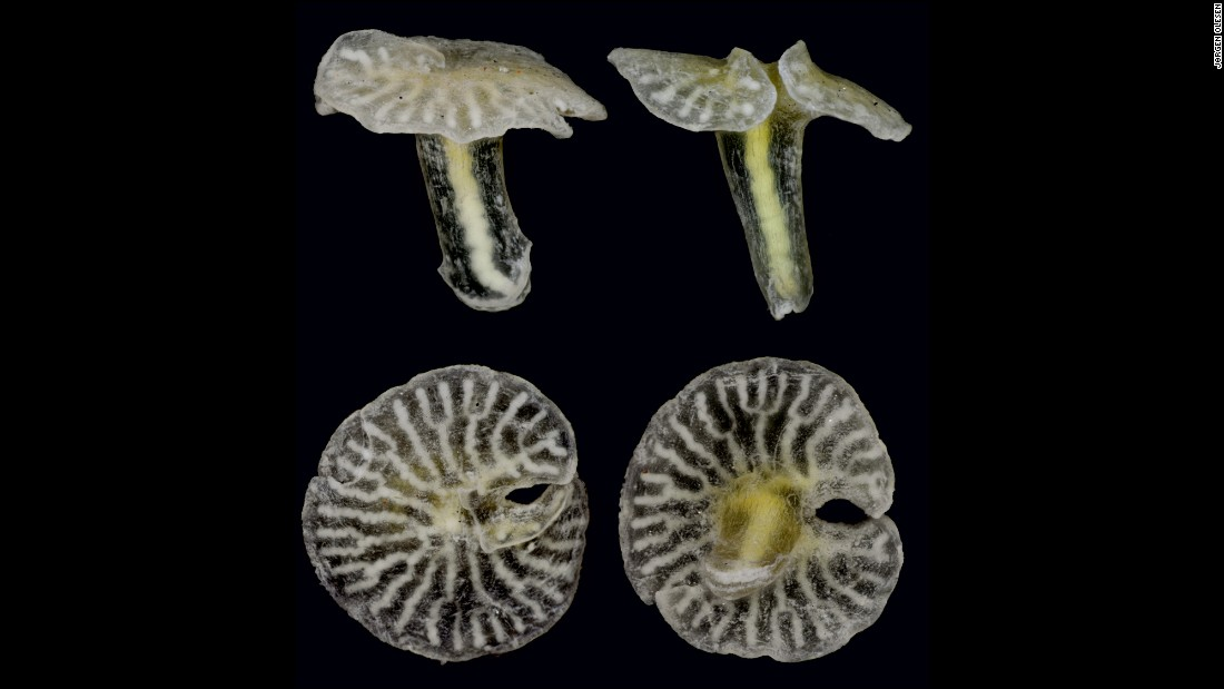 "The above <a href=""http://www.esf.edu/top10/2015/04.htm"" target=""_blank"">species</a> looks like a strange mushroom. Scientists are certain that it is an animal, but any further classification is still up for debate. <br /><br />According to ESF, this species, the X-phyla, could be related to various existing sea animals like jellyfish and coral, or the X-phyla could be in a phylum all its own. This was found on the sea floor off the coast of Australia."