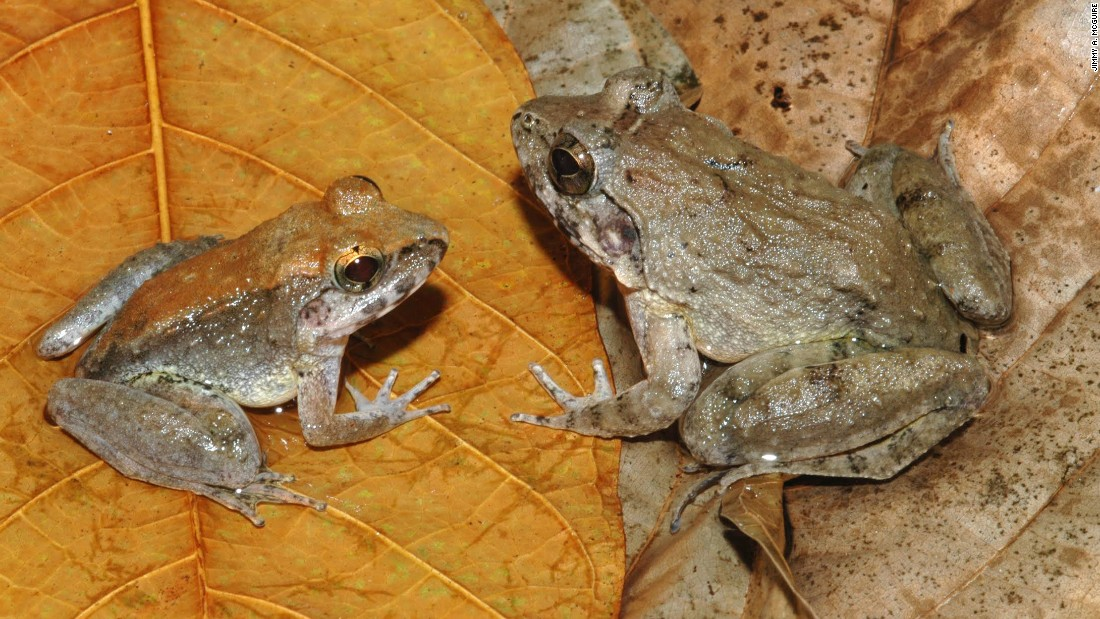 "The limnonectes larvaepartus, or <a href=""http://www.esf.edu/top10/2015/06.htm"" target=""_blank"">Indonesian Frog</a>, is a rarity among rarities as far as frogs are concerned. Most frogs lay eggs that grow into tadpoles which grow into frogs. Barely any frogs give live birth, and those that do give birth to small frogs. <br /><br />As far as scientists know, the Indonesian Frog is alone in giving live birth to tadpoles after internal fertilization."